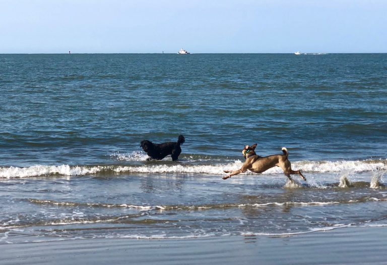 Dogs, Wildlife, Beach, Waves, Dogs at the b each, Playing in the water,