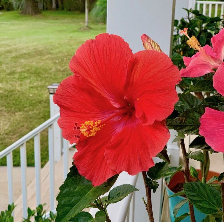 Flowers, Hibiscus, Nature, Garden, Plants